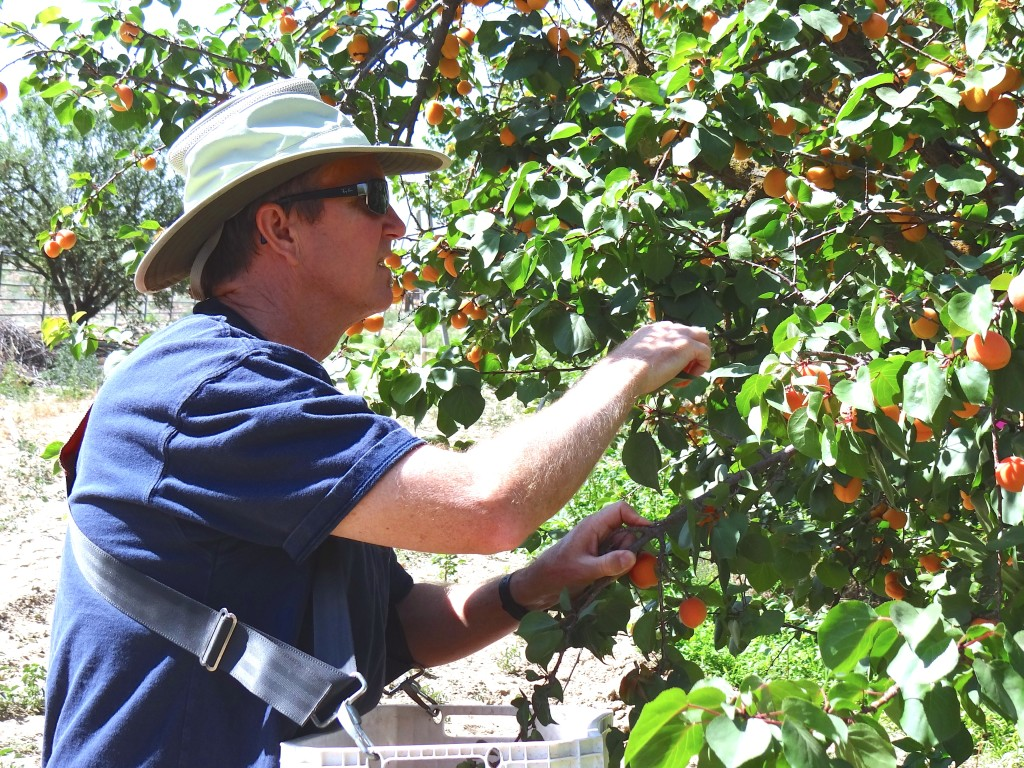 Picking the fruit