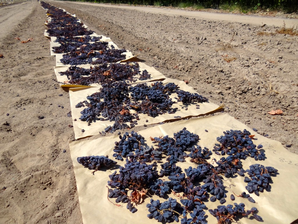 Raisins drying at Fresno State