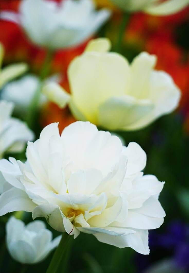 tulips in Temple Square