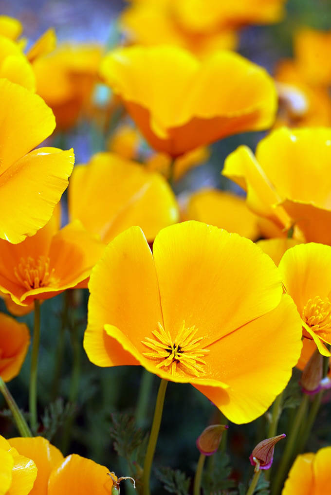 A field of bright orange California poppies.