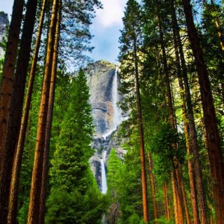 A stunning view of Yosemite Falls thru the tall pine trees.