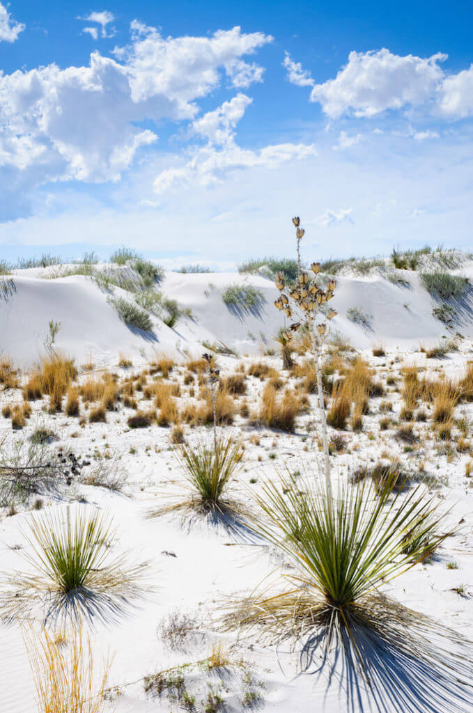 Dessert plants growing in the white sands at the national monument.